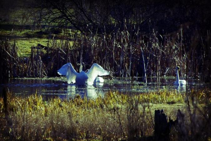 Swans in Toulou Creek by Gloria de los Santos on Flootie.com