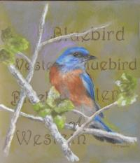 Western Bluebird by debbie hughbanks on Flootie.com