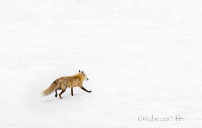 Red Fox  by Rebecca Tifft
